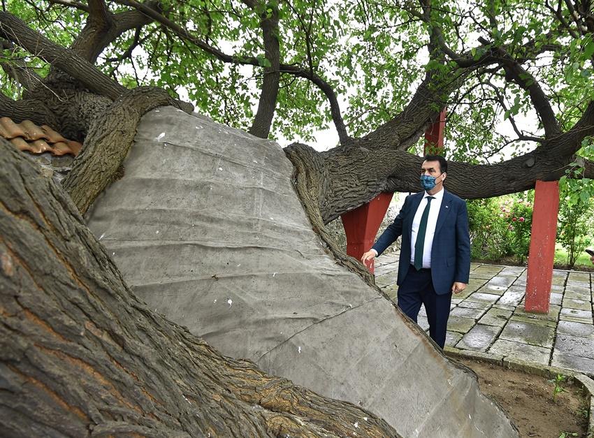 Kosova'daki Tarihi Ağacı Osmangazi Yaşatıyor