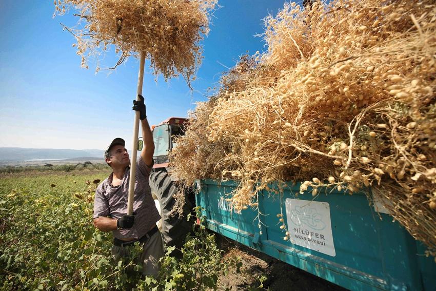 Yerli tohumdan doğal nohutlar hasat edildi