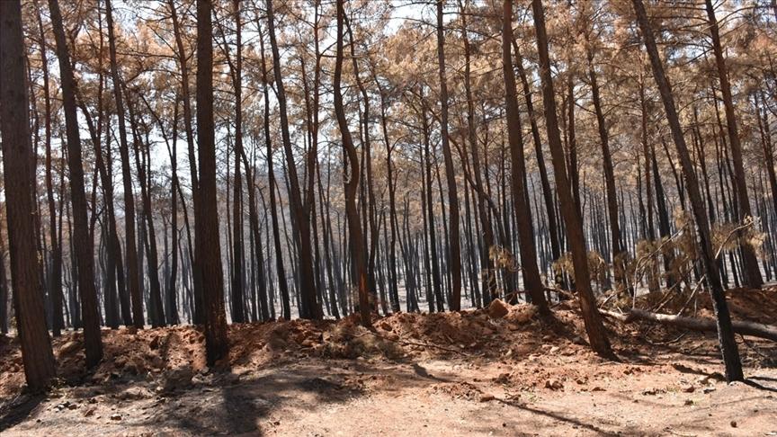 Doğal miras kabul edilen anıt ağaçlar, yangınlara da meydan okudu