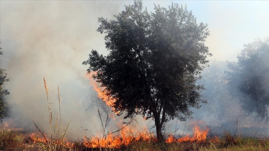 Yahudi yerleşimciler Filistinlilere ait onlarca zeytin ağacını ateşe verdi