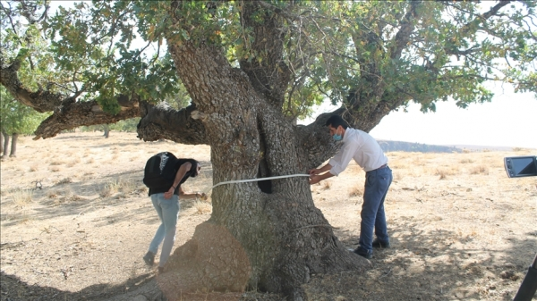 Muş'ta 400 yıllık meşe ağaçları tespit edildi
